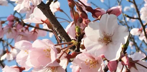 【iPhone写真術】お花見で桜の写真をキレイに撮ろう